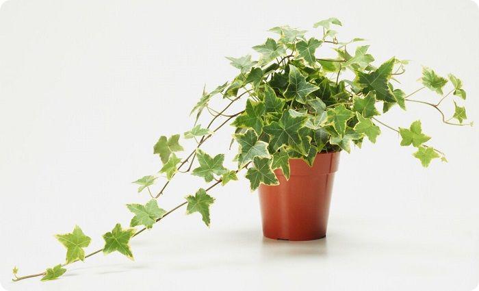 Плющ — вьющееся ползучее горшечное растение.