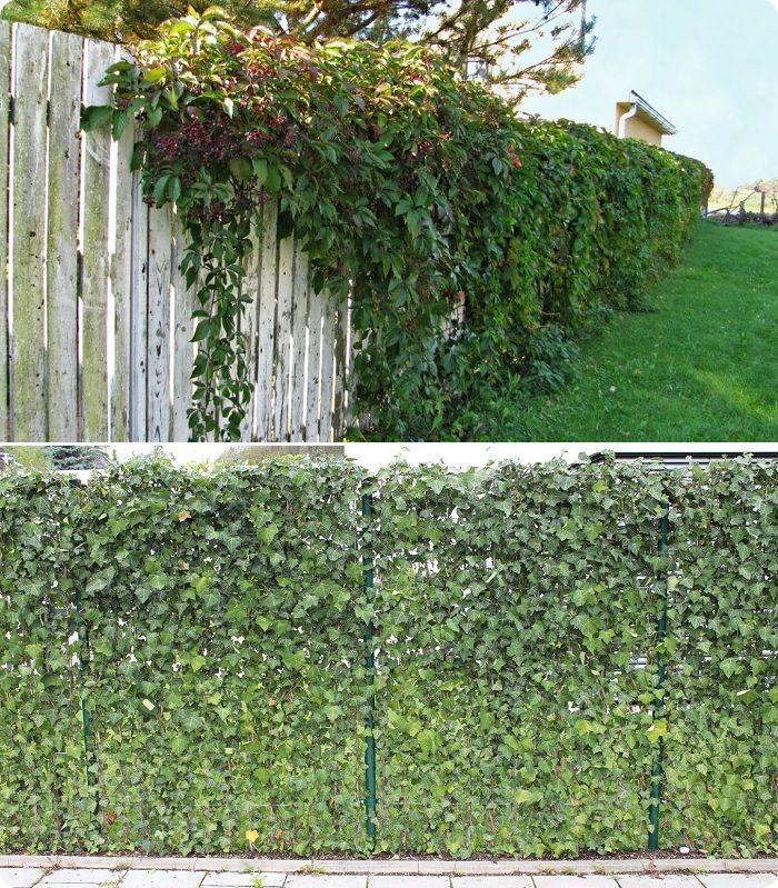 Ещё один вариант скрыться от посторонних глаз — посадить дикий виноград или плющ у забора.